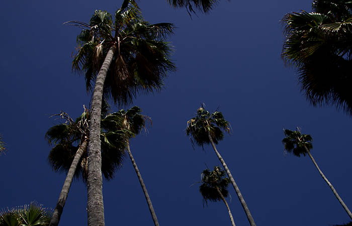 Palm Trees 09