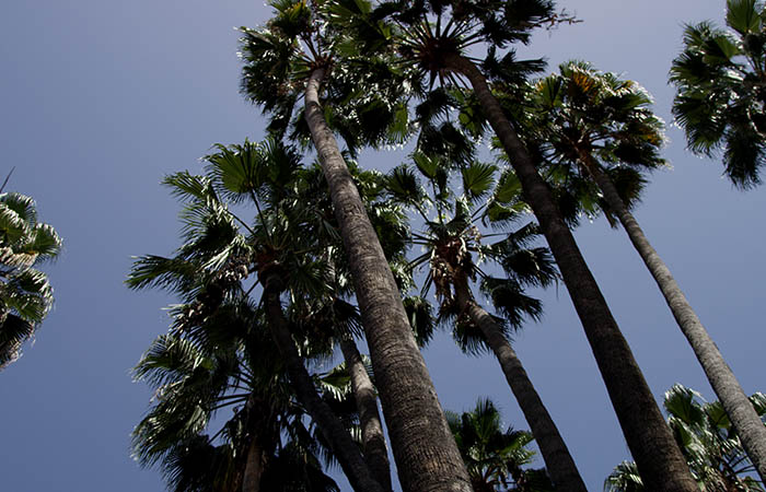 Palm Trees 12